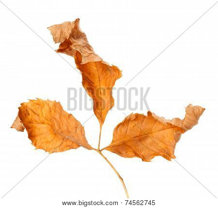 Dried Autumn Leaf. Close-up View.