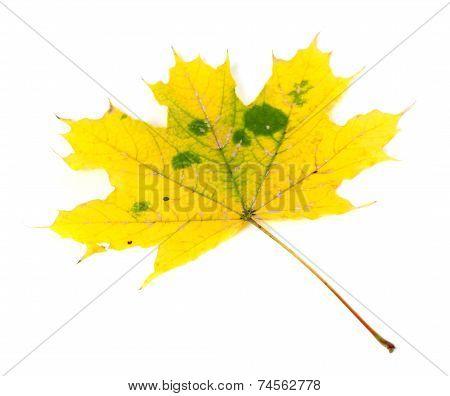 Yellowed Autumn Maple-leaf