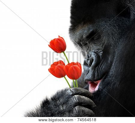 Sweet animal portrait of a gorilla holding red tulip flowers and making a loving face