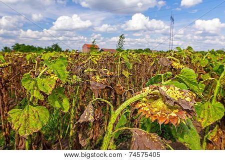 Withered Sunflowers On The Field