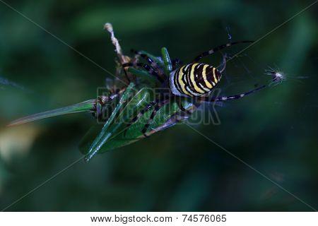 Spider eats a grasshopper