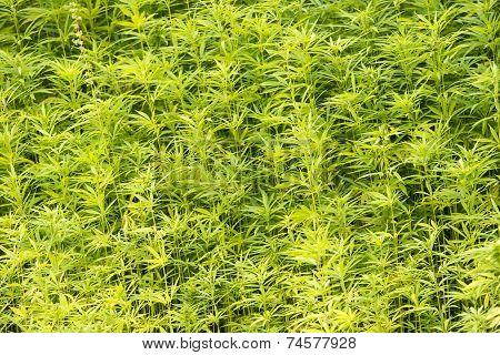 Marijuana plants in the wild in the Netherlands