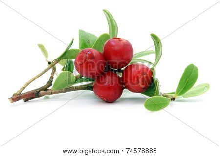 Sprig Of Cowberry With Drops
