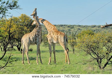 Two Necking Giraffes