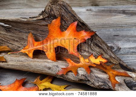 Large Oak Leaf In Autumn Color