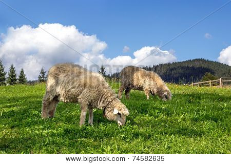 Sheep Grazing In A Meadow With Lush Green Grass