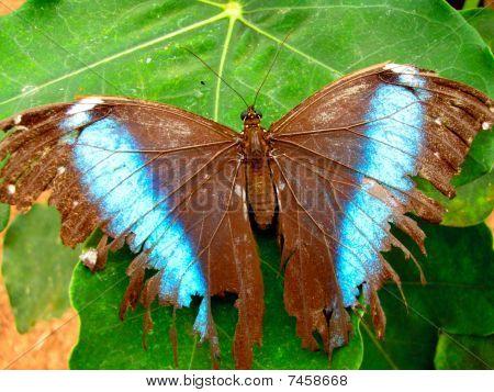 Amazon Butterfly