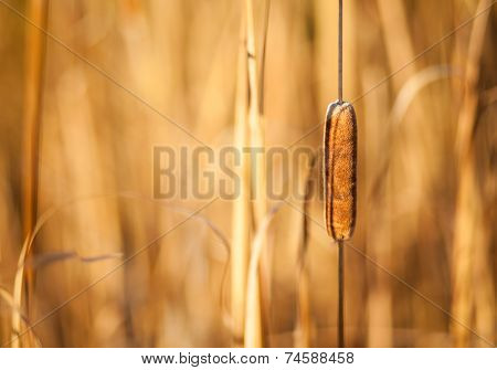 Cattail And Reeds At Sunset