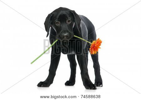 Puppy Labrador retriever holding a flower  in its mouth.  Isolated on white