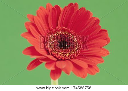 Red Gerbera contrasting on a green background.
