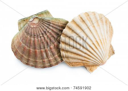 scallops shells (See Pectinidae) on the white background