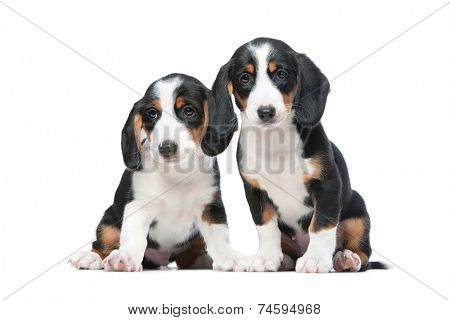 Two puppies isolated on white background. Westphalian Dachsbracke.