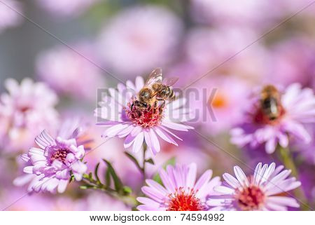 Bee On Purple Flower Collect Honey