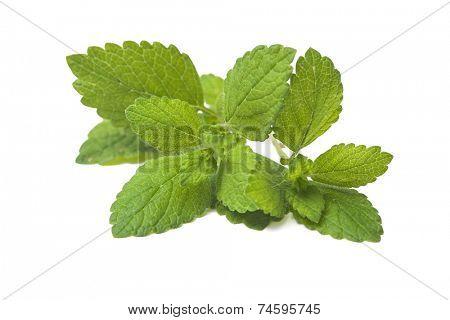 Lemon balm. Fresh green leaf of melissa over white