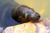 Australian Sea Lion - Neophoca Cinerea - Resting Against Side Of Zoo Pool