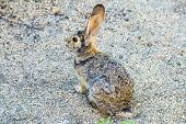 stock photo of wild-rabbit  - wild rabbit with big ears watches the area - JPG
