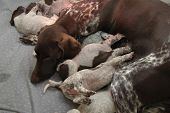 picture of puppies mother dog  - German shorthaired pointer puppies 18 days old and their mother - JPG