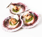 stock photo of scallop shell  - Studio closeup of seared scallops garnished with pea shoots and served on a bed of green and purple curly lettuces presented on a scallop shell - JPG