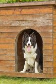 stock photo of collie  - Border collie is standing in wooden doghouse - JPG