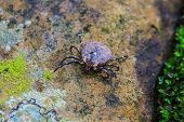picture of ixodes  - Parasite tick on ground insect in nature - JPG