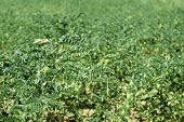picture of chickpea  - Chickpeas plantation - JPG