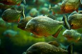 stock photo of piranha  - A close up of many piranhas swimming - JPG