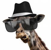 stock photo of fedora  - A humorous giraffe wearing a fedora and huge shaded glasses - JPG