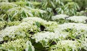 stock photo of dogwood  - Close up of the dogwood white flowers and leaves - JPG