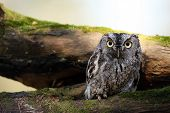 pic of screech-owl  - Closeup of an Eastern Screech Owl against a blurred background - JPG