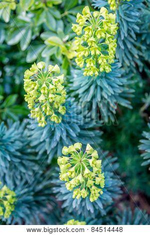 Yellow Euphorbia