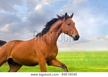 Bay horse portrait at sunset