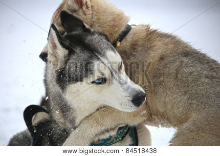 Husky puppy hugs adult