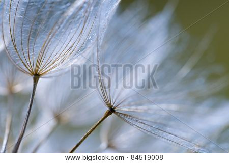 Dandelion Seeds In Close Up