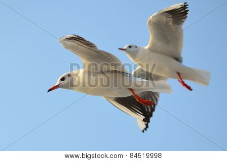 Seagul flying