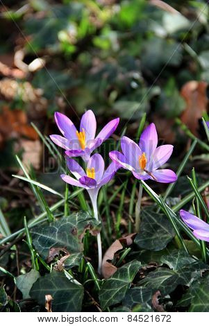 Crocus In Bloom In The Spring Garden