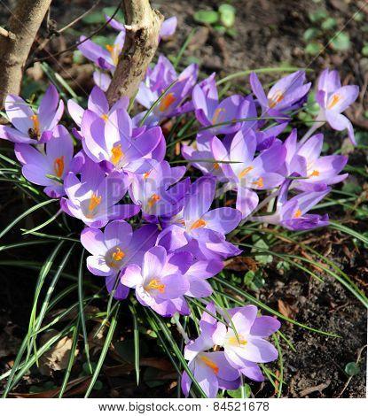 Crocuses In Bloom In The Spring Garden