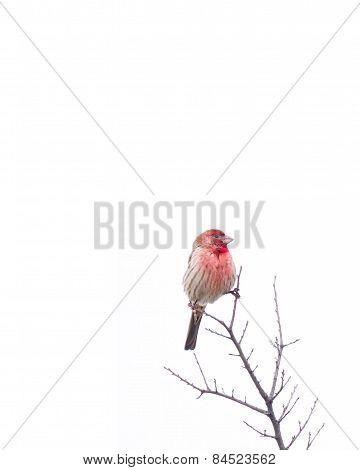 Red-breasted House Finch