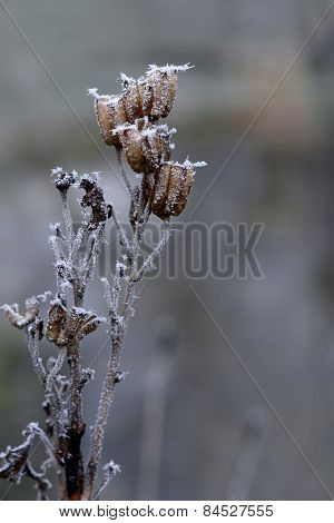 Seed Pods Covered With Hoar Frost