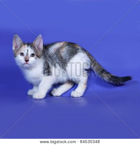 Tricolor Kitten Standing On Blue