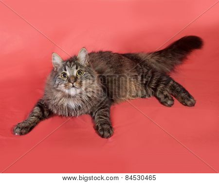 Striped Fluffy Siberian Cat Lying On Pink