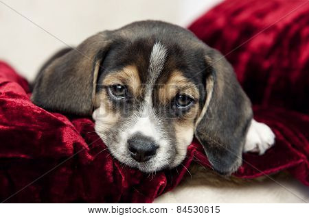 Closeup Beagle Puppy