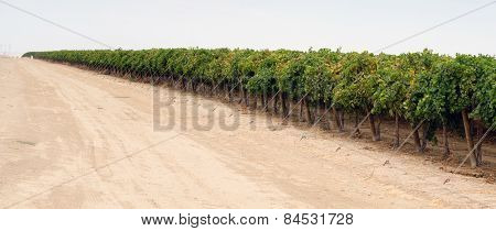 Long Line Raw Food Fruit Grapes California Farm Agriculture