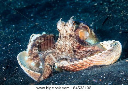 Coconut Octopus
