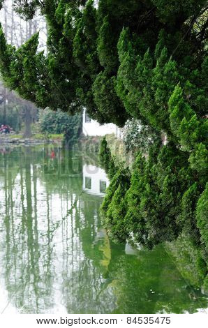 Evergreen tree over water