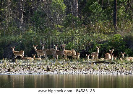 Swamp Deer In Bardia, Nepal