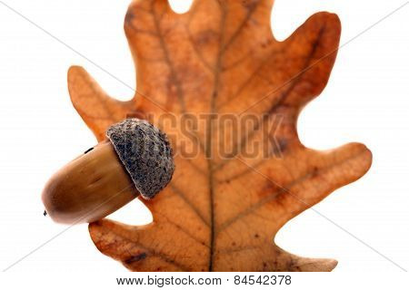 Acorn Leaf And Fruit