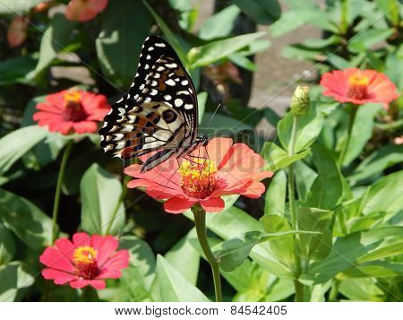 Butterfly on chrysanthemum flower