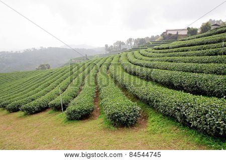 Green Tea Plantation Landscape