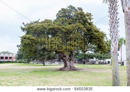 Massive Old Live Oak Tree