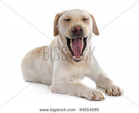 Labrador Retriever Jaw